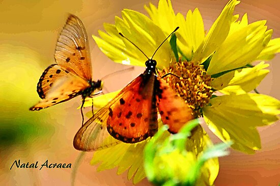BUTTERFLY SERIES - Natal Acraea by Magriet Meintjes