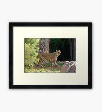 Cheetah Hunt Framed Print