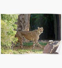Cheetah Hunt Poster