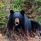 sleepy black bear  by Christopher Birtwistle-Smith