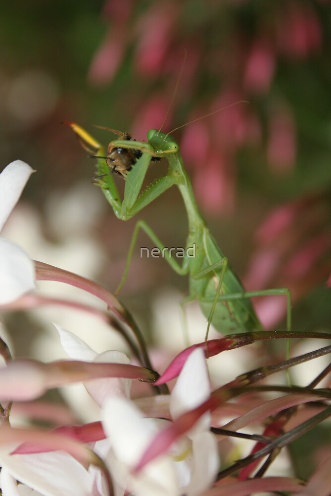 Mantis eating Bee by nerrad