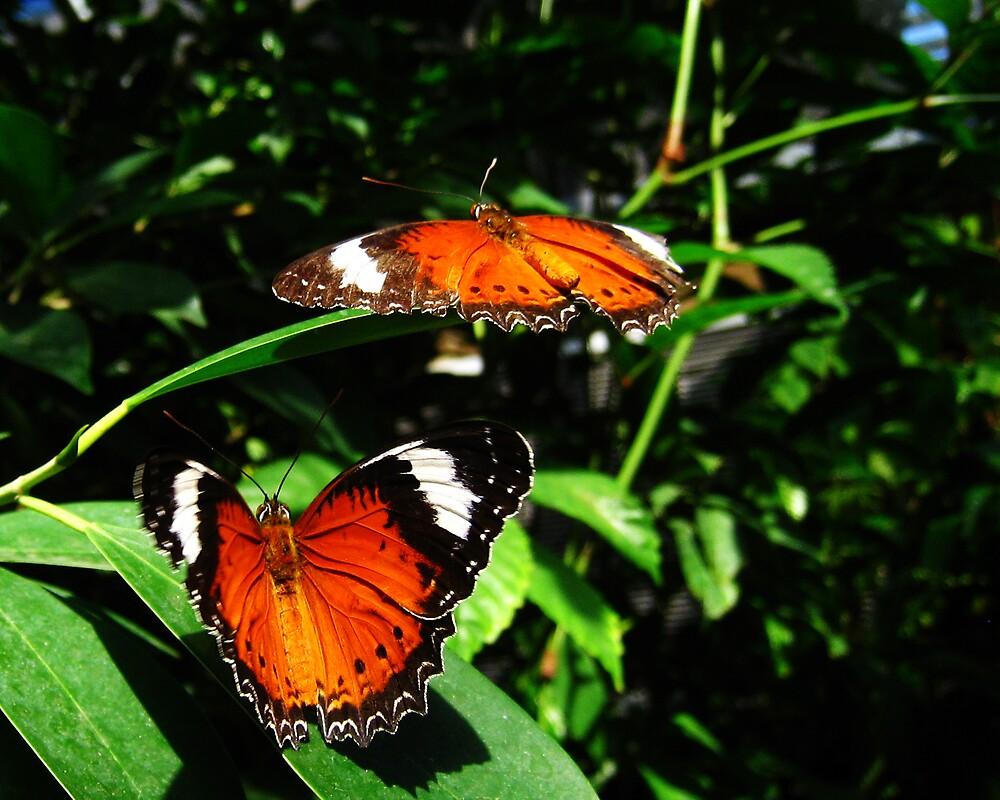Butterflies II by Daz Zammit