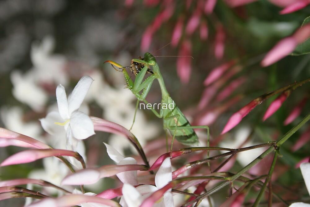 Praying Mantis by nerrad