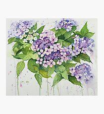 Lavender Lace Cap Floral Photographic Print