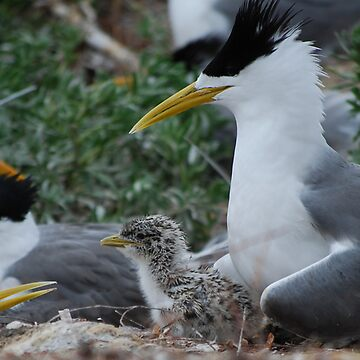 Crested Tern With Chick by FredSmith