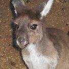 Young kangaroo by Susan Moss