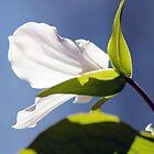 Great White Trillium - Trillium grandiflorum by Codee Pyke