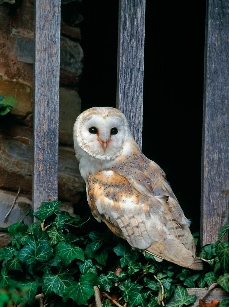 Barn Owl by Simon Coates