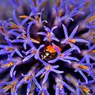 Ladybug On Allium giganteum by Mythos57