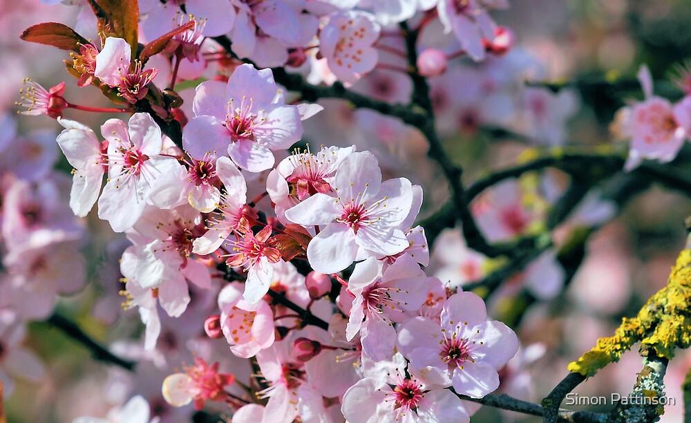Blossom by Simon Pattinson