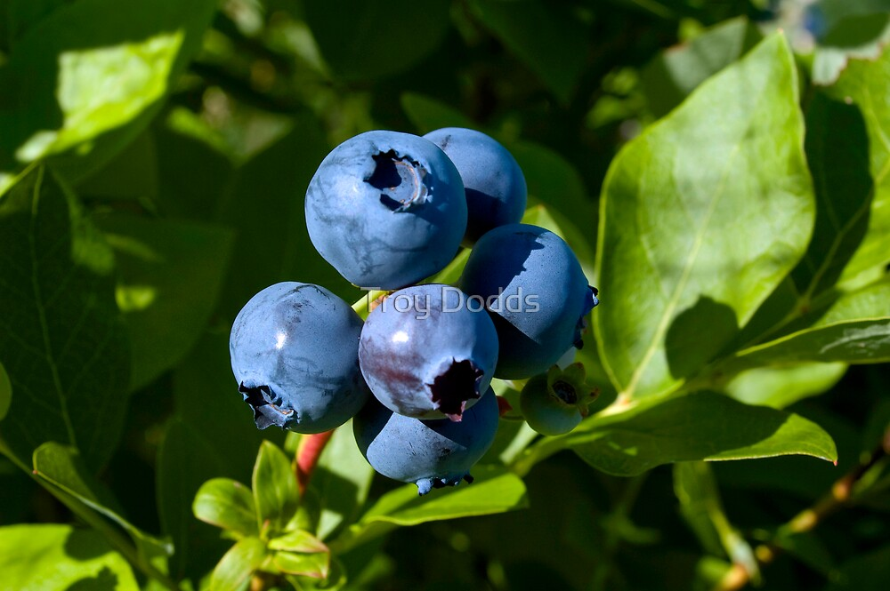 VT Blueberries by Troy Dodds