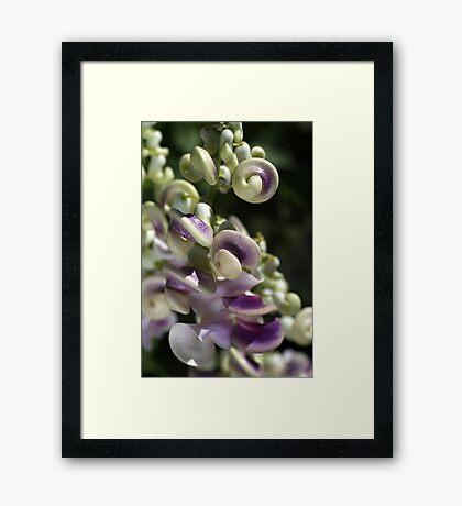 Corkscrew Vine Flower Framed Print