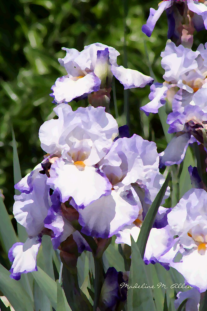 ENGLISH GARDEN IRIS by Madeline M  Allen