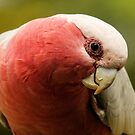 Inquisitive Galah by theleastone