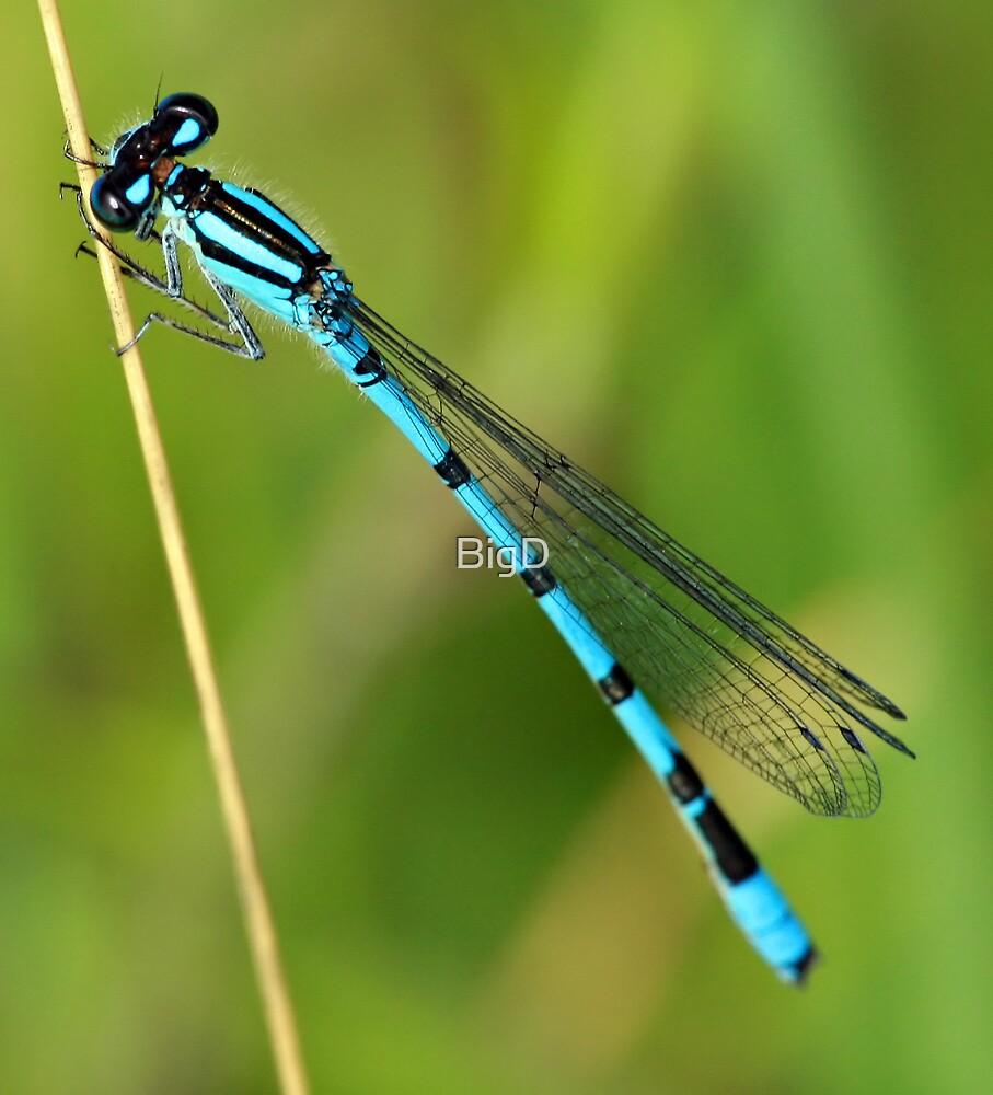 Blue Damselfly by BigD