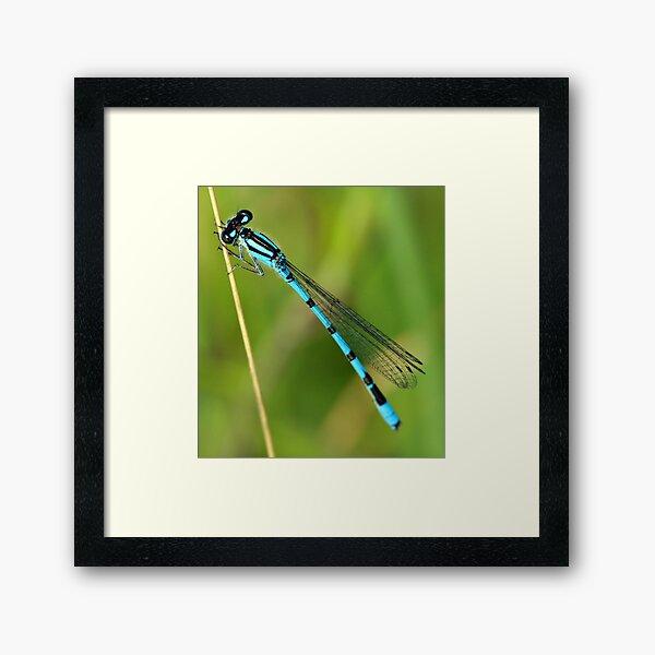 Blue Damselfly Framed Art Print