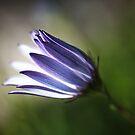 Beautiful Inner Glow Of Daisy by Joy Watson