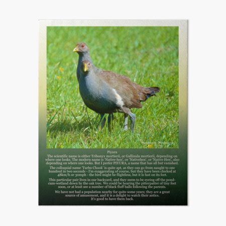 PIYURA ~ Native-Hen (Young Pair) by tasmanianartist Art Board Print