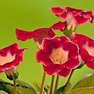Flowering Red gloxinia by mrivserg