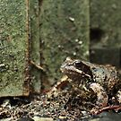 Goggle-eyed Toad by mrivserg