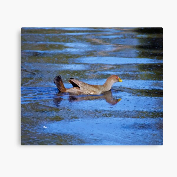PIYURA ~ Tasmanian Native-Hen Swimming by David Irwin Canvas Print
