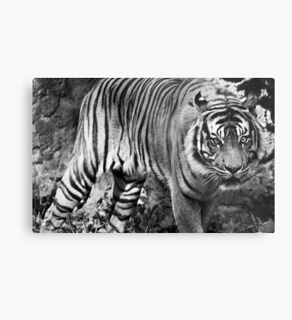 Angry tiger Metal Print