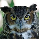 Great horned owl by Dennis Cheeseman