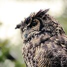 The Great Horned Owl by Colin Tobin
