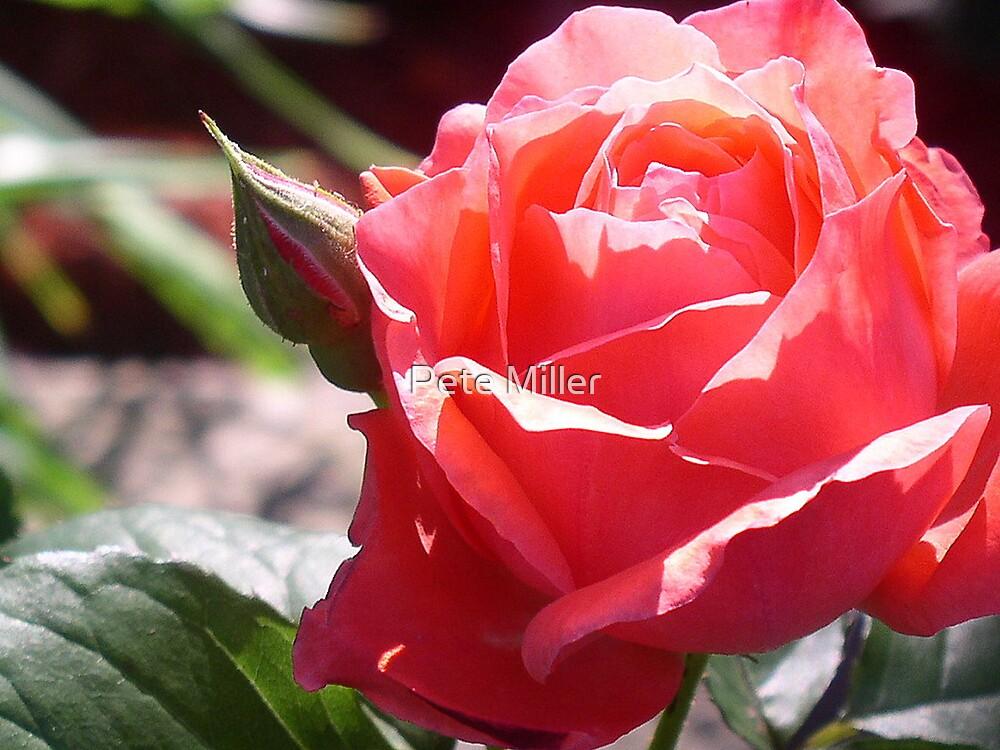 blush by Pete Miller