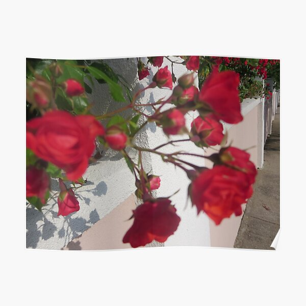 Red and vibrant roses Poster