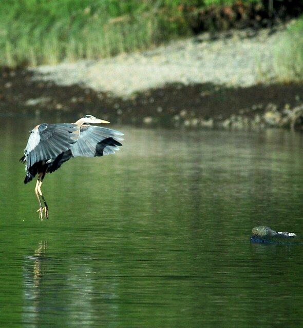 Great Blue Heron 3 by Alex Weeks