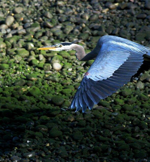 Great Blue Heron 4 by Alex Weeks