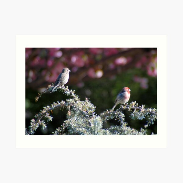 Meet the Finches Art Print
