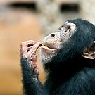 Young Chimp by Sheila Smith