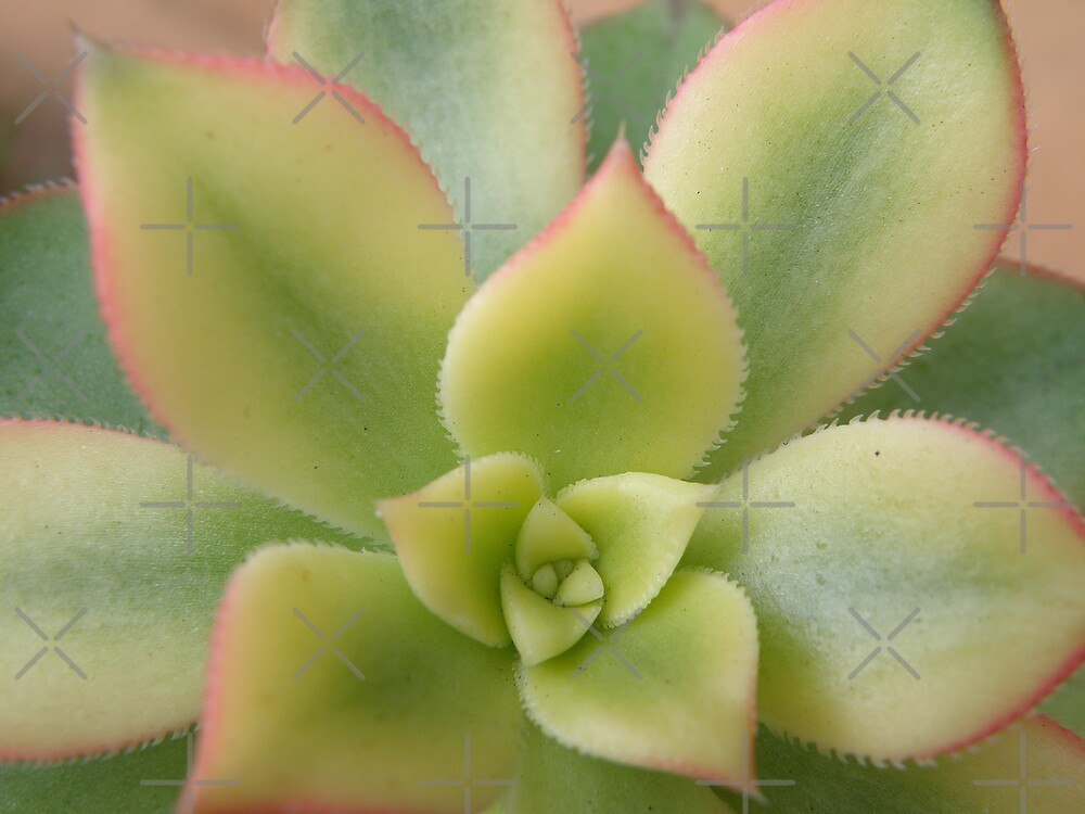 varigated succulent by CapturedByKylie
