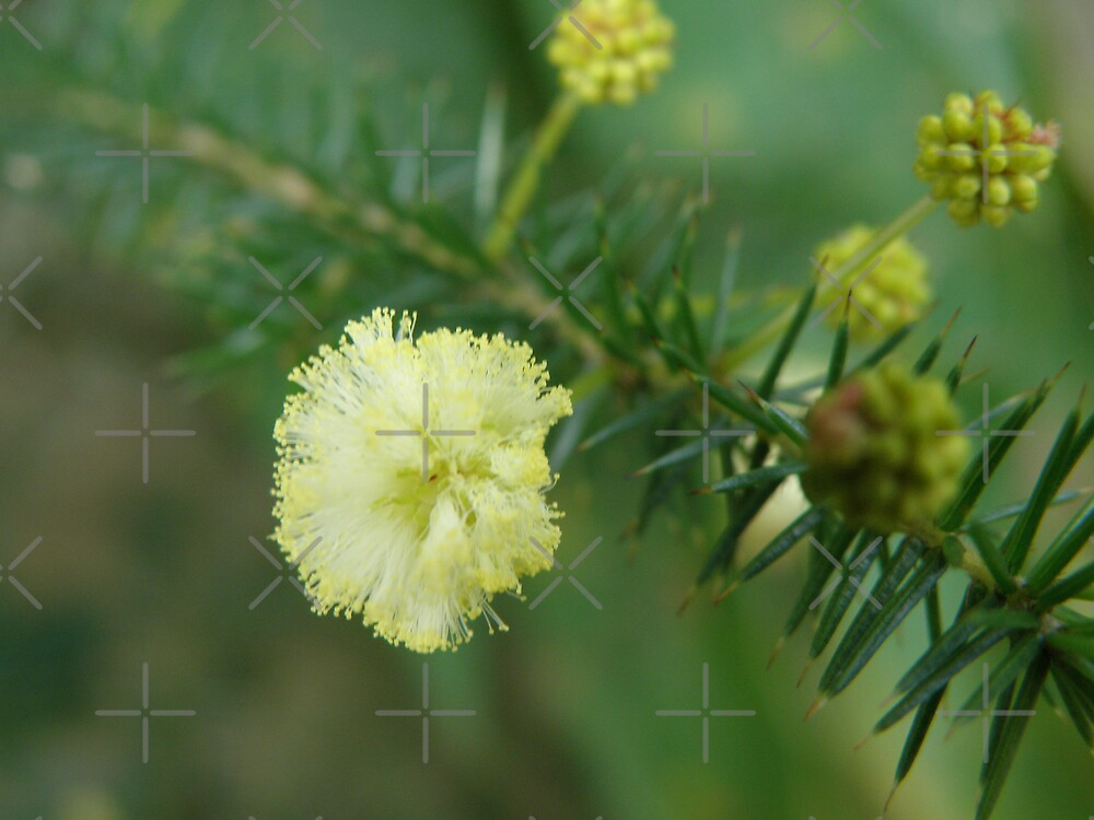 Wattle by CapturedByKylie
