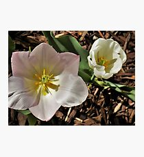 Pink and White Tulip Duo Photographic Print