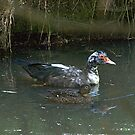 The strange pair...... do you think the other Ducks are starting to talk....??? by Roy  Massicks