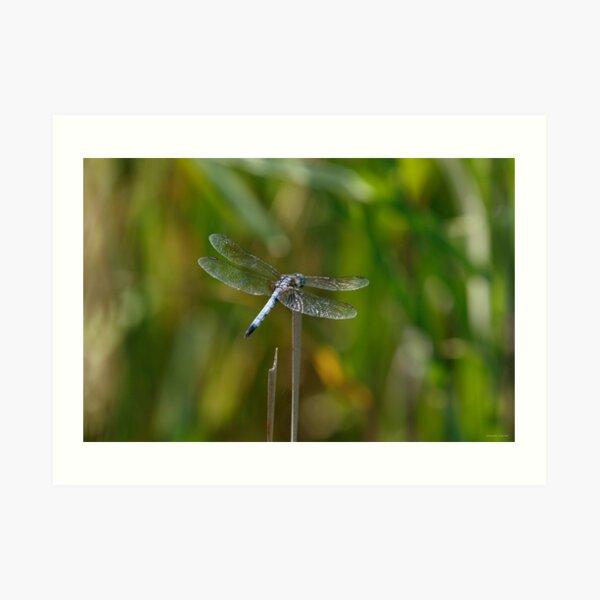 Glistening Dragonfly Art Print