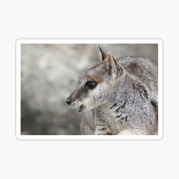 Curious Wallaby Sticker
