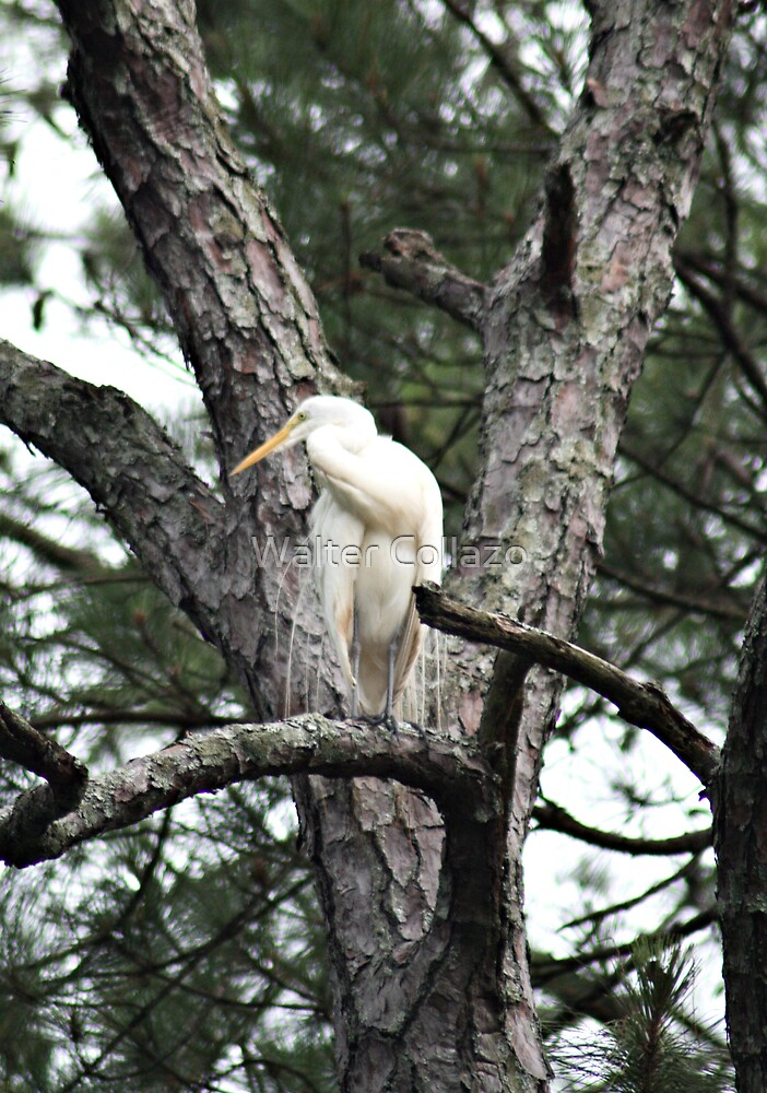 Egret Perched by Walter Collazo