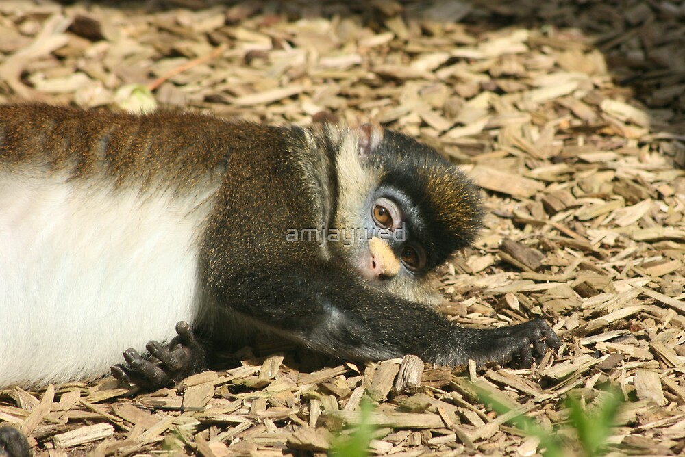 Red Tailed Guenon (Cercopithecus ascanius) - Twycross Zoo by amjaywed