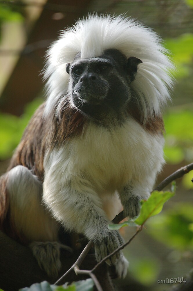 Cotton Top Tamarin by cml16744