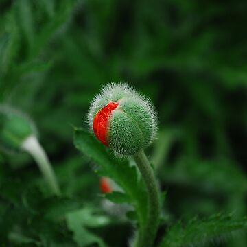 New red Poppy by Jdn1000