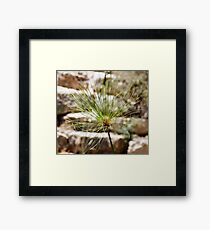 Head of Cyperus papyrus against a background of large stones Framed Print