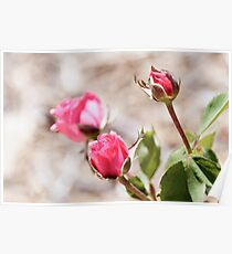 Buds of pink elegant rose flowers with leaves on blurred background Poster