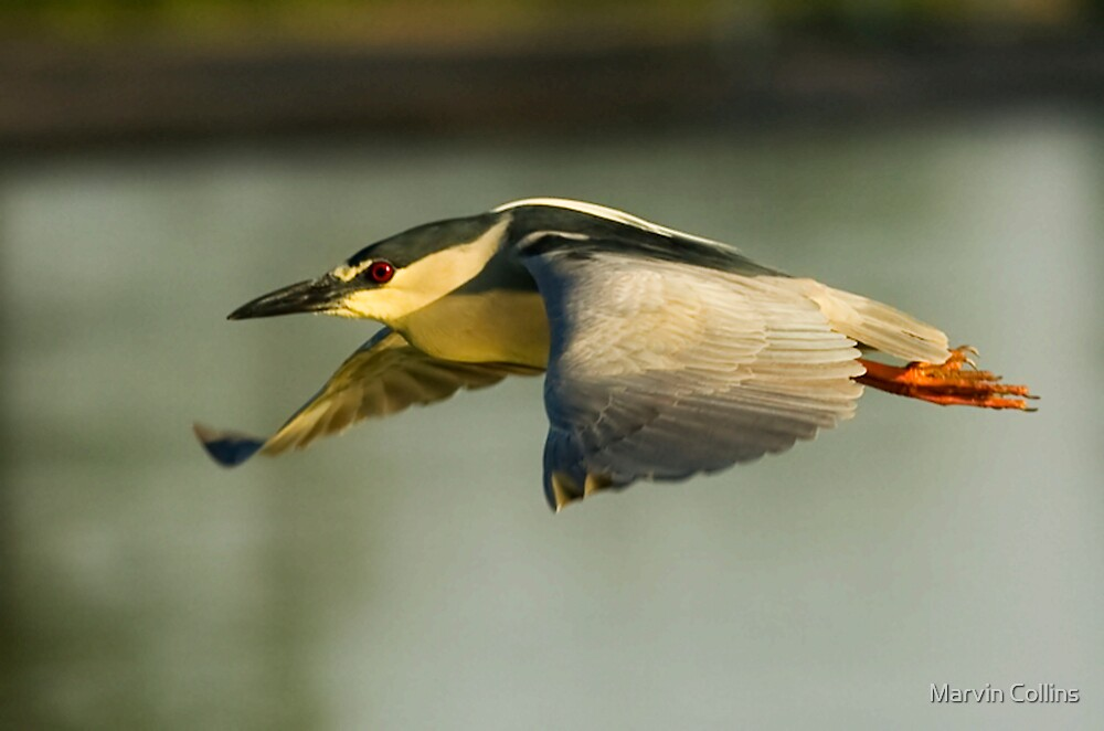 Night Heron by Marvin Collins