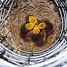 Baby Mockingbirds by Glenna Walker