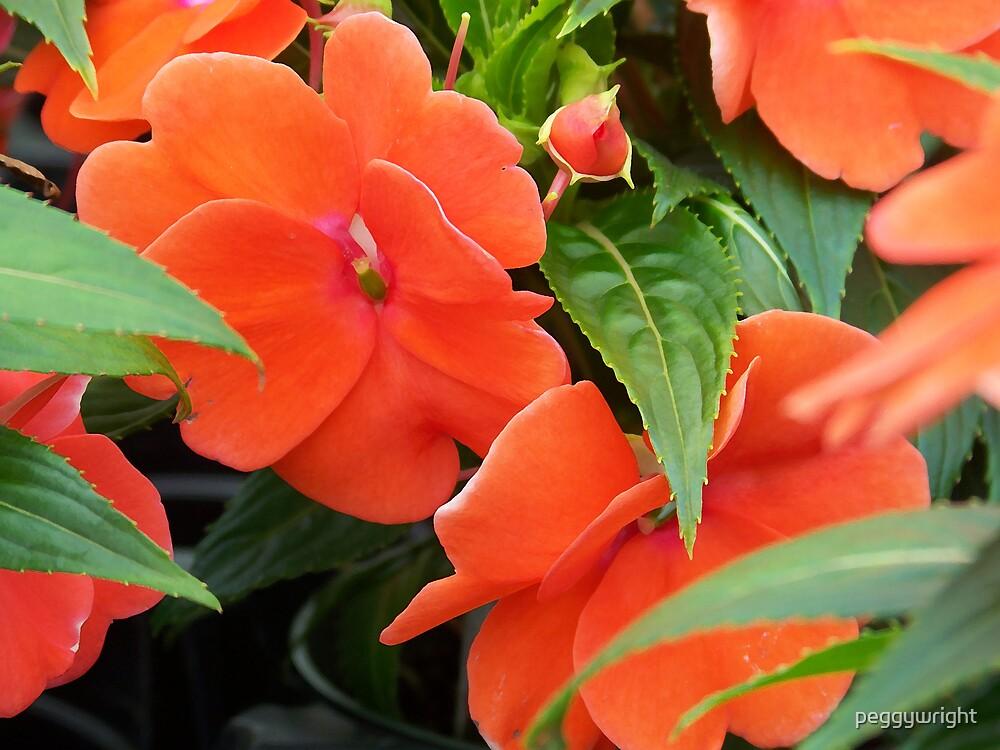 Orange New Guinea Impatiens by peggywright