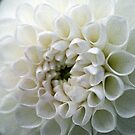 Dahlia in white by Lenka